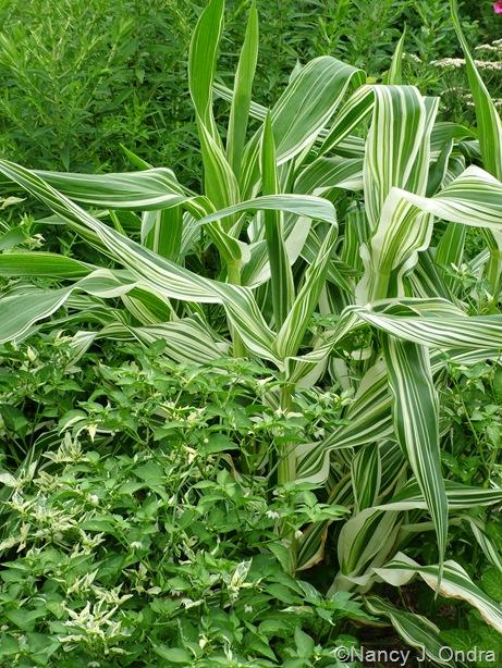 Zea mays 'Tiger Cub' (corn) with Capsicum annuum 'Fish' (pepper)