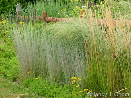 Schizachyrium scoparium 'The Blues', calamagrostis x acutiflora 'Karl Foerster', and Panicum amarum 'Dewey Blue' Aug 14 10