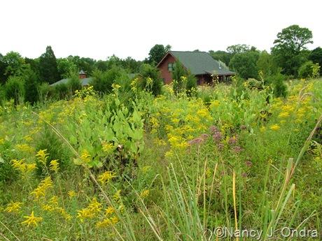 Hayefield meadow with Silphium perfoliatum, Solidago, and Eupatoriadelphus purpureus Aug 14 10