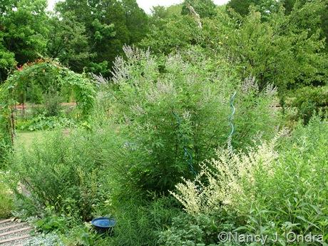 Vitex negundo and Ligustrum 'Swift Creek' Aug 14 10