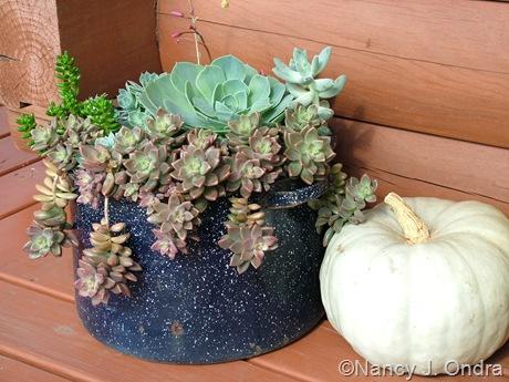 Succulents and 'Jarrahdale' squash Sept 14 10