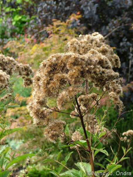 Eupatoriadelphus maculatus 'Carin' Sept 14 10