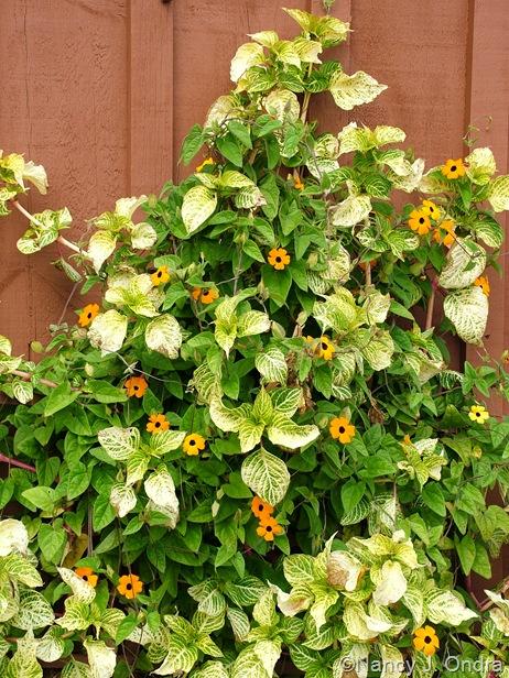 Thunbergia alata 'Whopper Orange' with Iresine herbstii 'Aureoreticulata' Oct 13 10