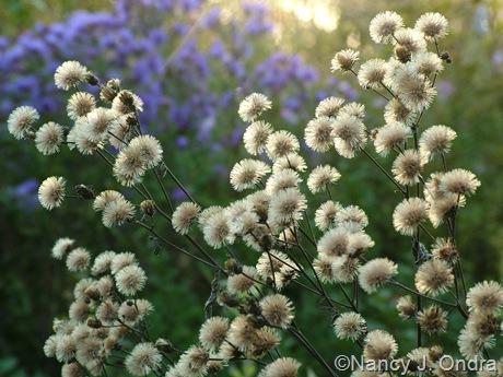 Vernonia seedheads Oct 14 10
