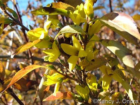 Forsythia viridissima var. koreana 'Kumson'