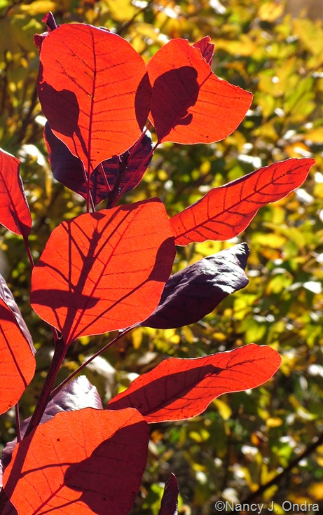 Cotinus 'Grace' fall color