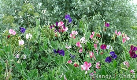 Lathyrus odoratus 'Old Spice Mix' (sweet pea)