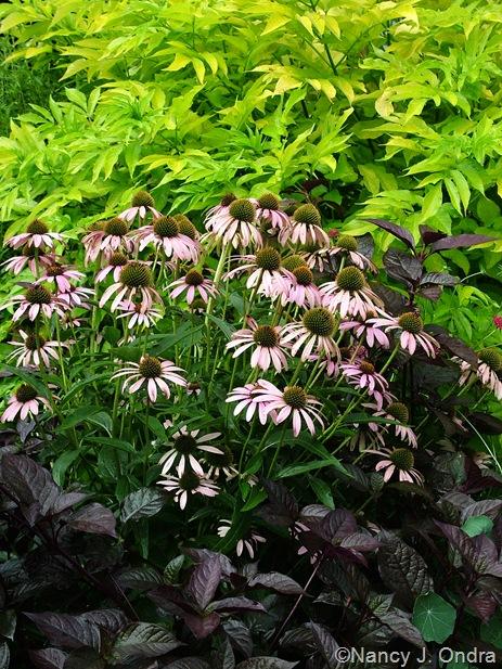 Sambucus nigra 'Aurea', Echinacea purpurea, and Alternanthera 'Purple Knight'