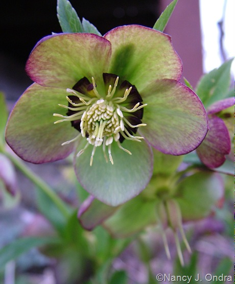 Helleborus x hybridus (picotee with dark nectaries)
