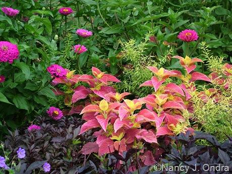 Zinnia 'Purple Prince', Coleus 'Bellingrath Pink', and Spiraea Mellow Yellow ('Ogon')
