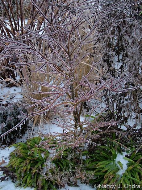 Acer palmatum with Carex plantaginea