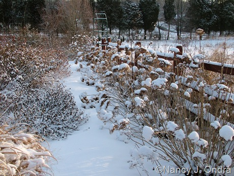 Hydrangea arborescens subsp. radiata in snow