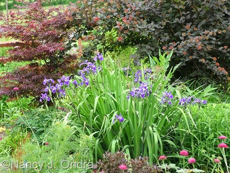 Iris 'Gerald Darby' at Hayefield [Nancy J. Ondra/hayefield.com]