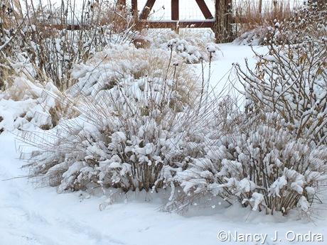 Amsonia hubrichtii in snow
