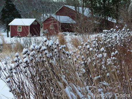 Echinacea purpurea seedheads in snow