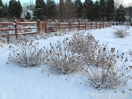Diervilla sessilifolia in snow