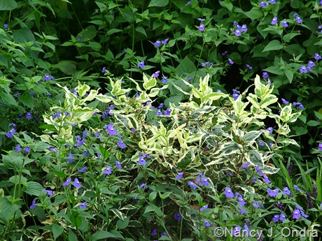 Diervilla sessilifolia Cool Splash ('LPDC Podaras') with Browallia americana