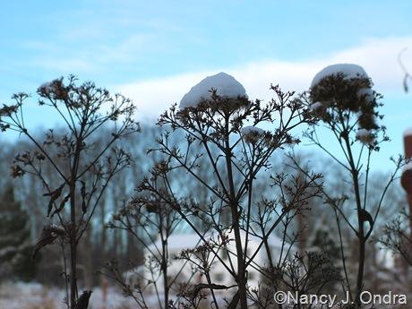 Eupatoriadelphus maculatus in snow