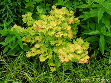Acer shirasawanum 'Aureum' with Carex muskingumensis 'Oehme'