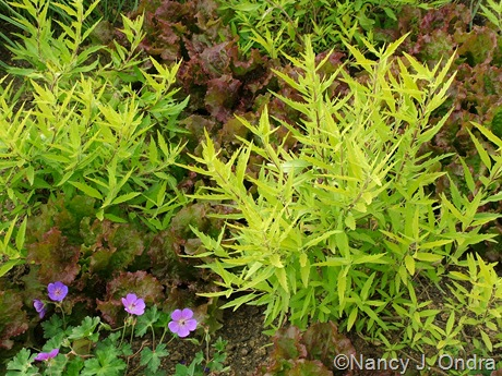 Caryopteris x clandonensis 'Worcester Gold' with lettuce and Geranium 'Gerwat' (Rozanne)