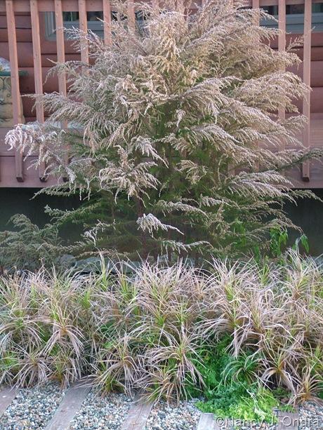 Eupatorium capillifolium and Carex muskingumensis 'Oehme'