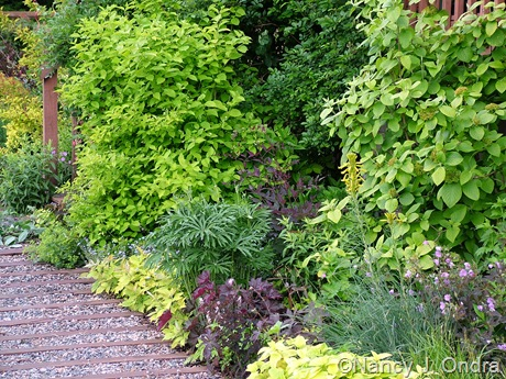 Foundation border with Viburnum lantana 'Aureum' and Philadelphus coronarius 'Aureus'