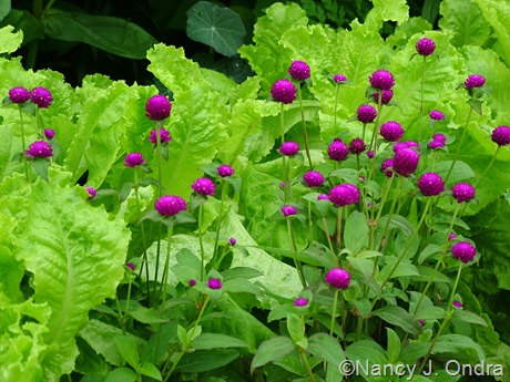 Gomphrena globosa 'Rainbow Purple' against Lettuce 'Australian Yellow'