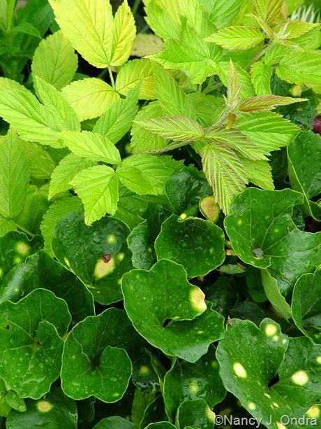 Farfugium japonicum 'Aureomaculatum' with Rubus idaeus 'Aureus'