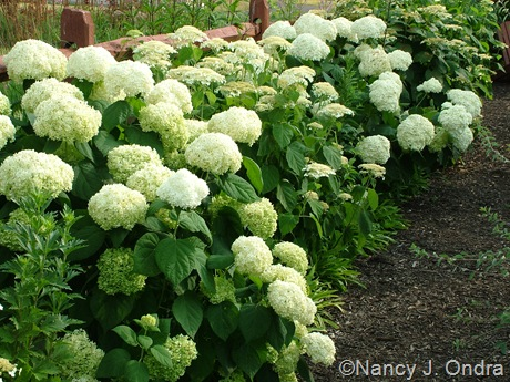 Hydrangea arborescens var. radiata [July 13, 2009]