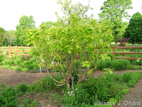 Catalpa bignonioides 'Aurea' [May 7, 2010]