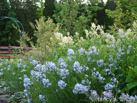 Amsonia hubrichtii with Persicaria polymorpha and Deutzia scabra 'Variegata' [May 20, 2010]
