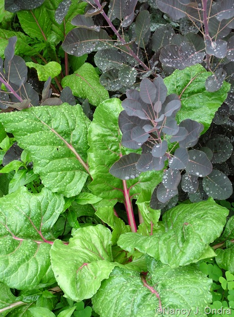 'Bright Lights' chard with Cotinus coggygria 'Royal Purple' [July 13, 2010]
