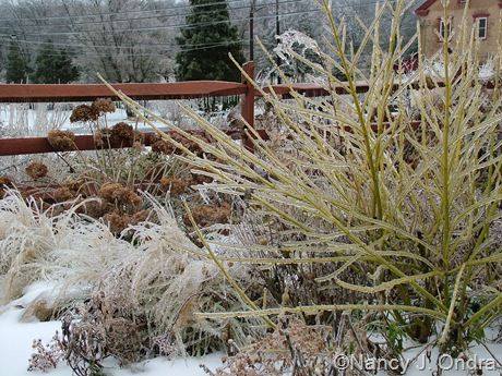 Cornus sericea 'Silver and Gold' [December 21, 2008]