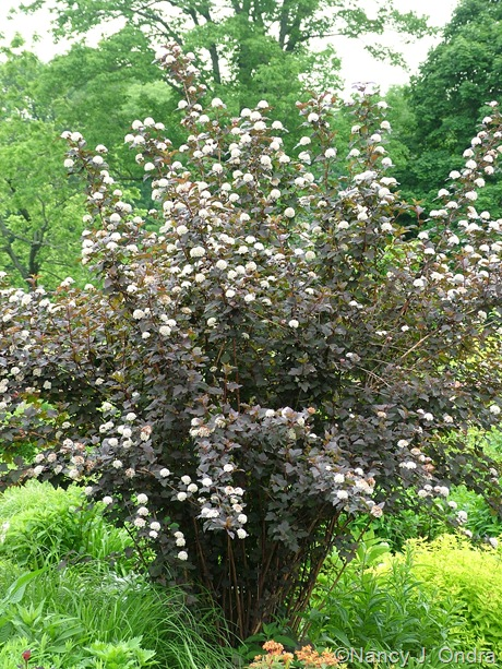 Physocarpus opulifolius 'Monlo' (Diabolo) [May 22, 2010]