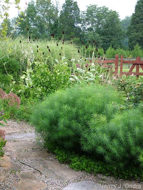 Amsonia hubrichtii with Sedum 'Angelina' and Rudbeckia maxima [August 26, 2009]