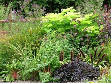 Catalpa bignonioides 'Aurea' with Vernonia, Chard, Ipomoea batatas 'Sweet Caroline Purple', and Pennisetum 'Jade Princess' [August 13, 2010]