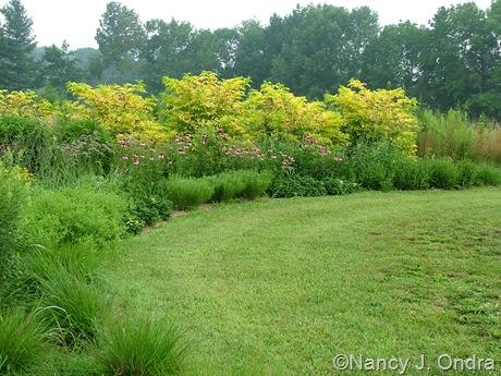 Sambucus nigra 'Aurea' [July 19 2007]