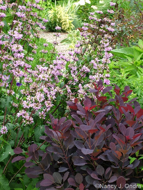 Cotinus coggygria 'Velvet Cloak' with Phlomis tuberosa 'Amazone' [June 8 2006]