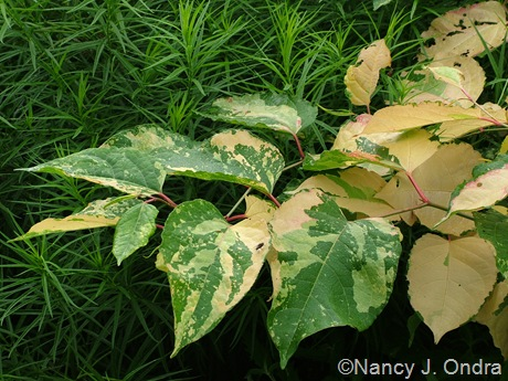 Amsonia hubrichtii with Fallopia japonica 'Devon Cream' [June 24, 2005]