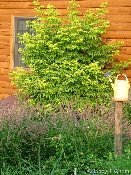 Sambucus racemosa 'Sutherland Gold' [July 1 2005]