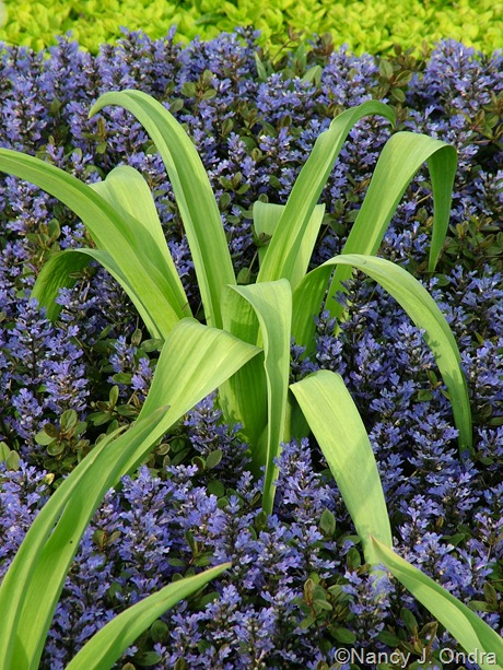 Allium schubertii with Ajuga reptans 'Valfredda' (Chocolate Chip]