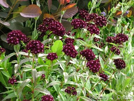 Dianthus barbatus 'Black Adder'