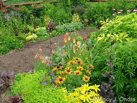 Rudbeckia hirta 'Prairie Sun' and 'Chim Chiminee' with Euphorbia 'Golden Foam' and Kniphofia 'Flamenco' June 28 2100