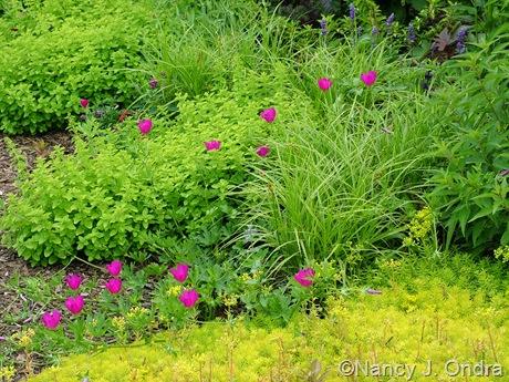 Callirhoe involucrata with Sedum 'Angelina', Carex muskingumensis 'Oehme', and Origanum vulgare 'Aureum' June 22 2007