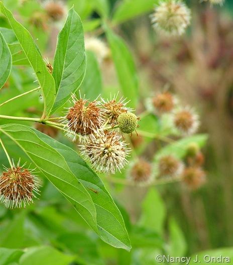 Cephalanthus occidentalis July 2011