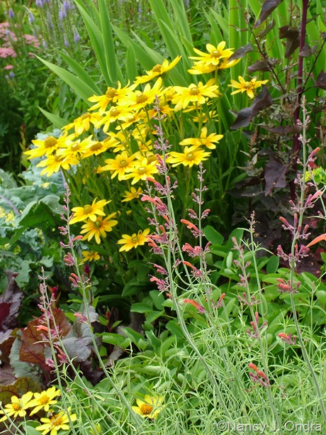 Agastache rupestris and Rudbeckia hirta 'Prairie Sun' July 2011