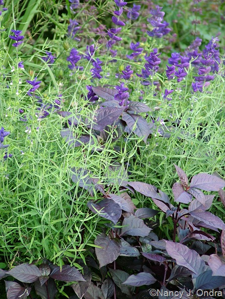 Alternanthera 'Purple Knight' with Agastache rupestris and Salvia viridis 'Blue Denim' July 24 2009