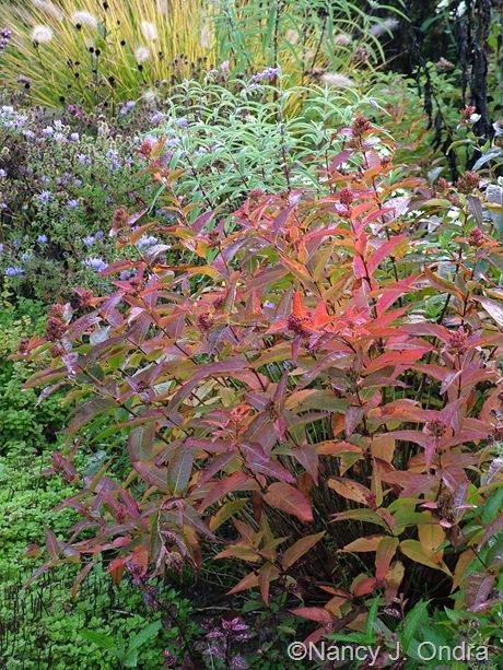 Diervilla sessilifolia fall color Oct 2011