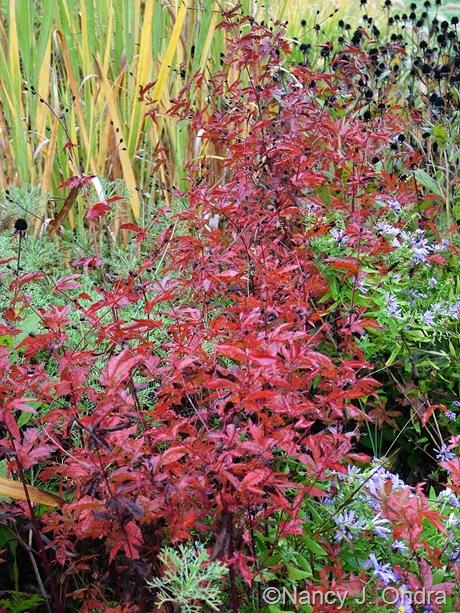 Gillenia (Porteranthus) stipulatus in fall color Oct 2011