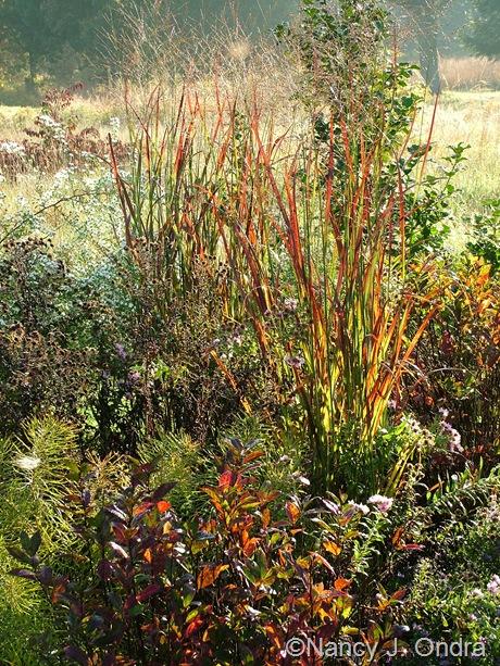 Panicum virgatum 'Huron Solstice' with Itea virginica 'Henry's Garnet' Oct 2011